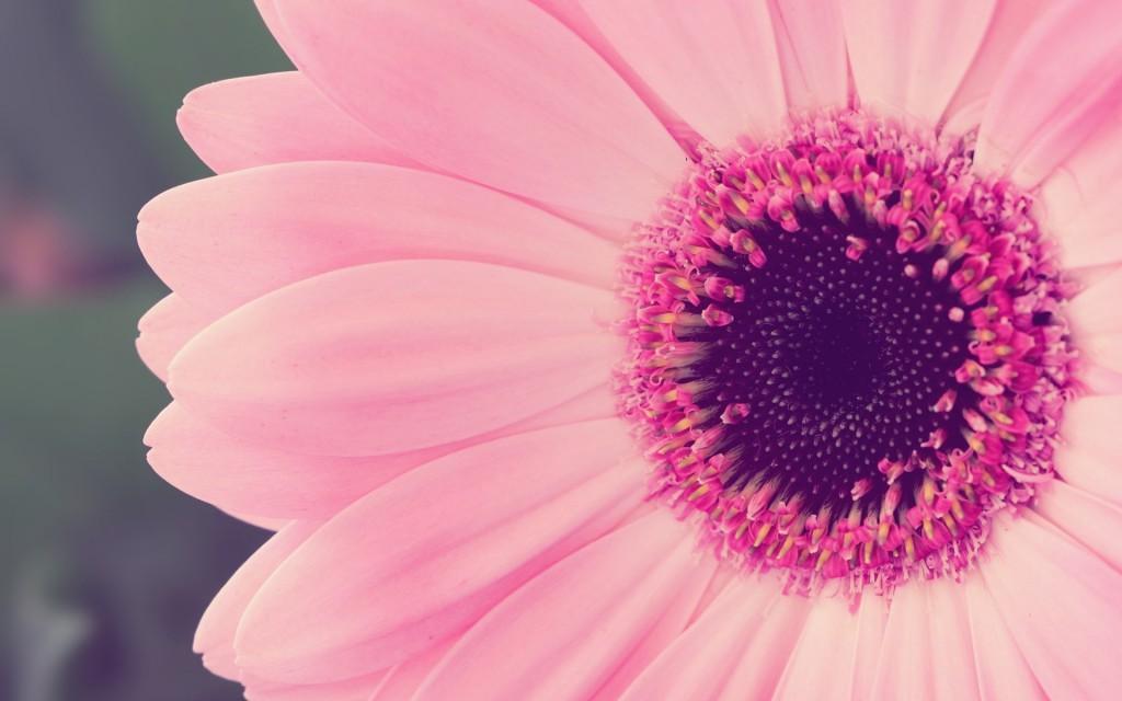 pink-sun-flowers-vintage-hd